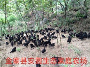 生态乌鸡与土鸡出售