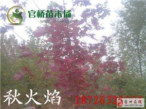 出售日本红枫黄金枫