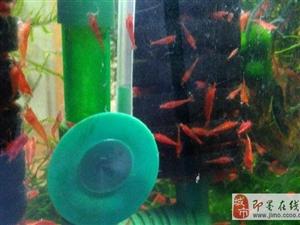 自家繁殖自来水 井水 极火虾