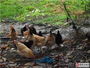 出售散养土鸡