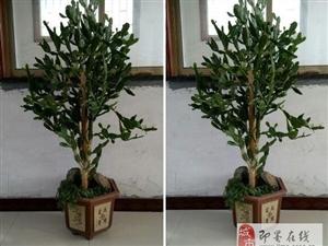 自养多年仙人树低转