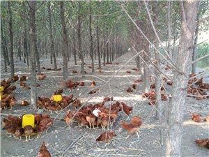 树林散养大红公鸡