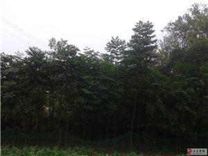 大量2年生欒樹苗木出售