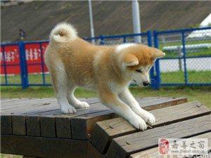 忠犬八公后代,纯种日系秋田幼犬出售。包纯种