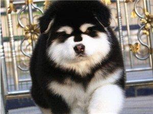 自家母狗下的一窝阿拉斯加幼犬要出售了