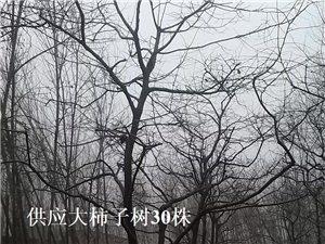 出售大柿子树 150株 高唐赵寨子 绿化工程