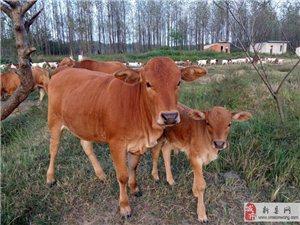 新县农家放养土黄牛出售