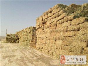 正蓝旗隆盛草业有捆草100吨出售