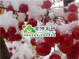 正宗冬紅海棠 批發海棠樹苗 冬紅海棠花苗特價彩葉苗