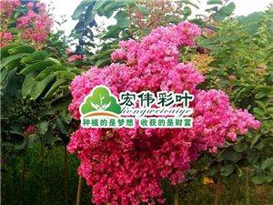 中國紅紫薇 紅花紫薇 速生玫紅紫薇中最紅紫薇之一