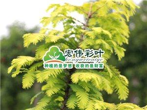 正宗金葉水杉小苗 珍稀彩色綠化苗 金葉水杉苗