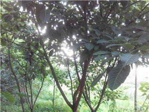 泸县【私人种植】苗木出售黄桷树