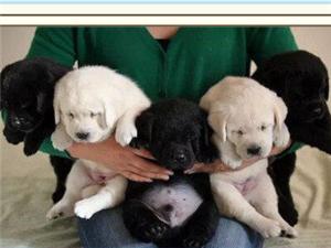 家養一窩拉布拉多幼犬轉讓 誠心要的趕緊來抱吧