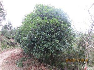 绿化苗木八月桂花树