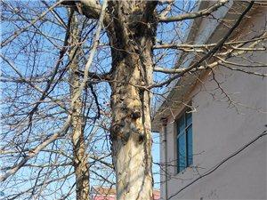 出售自家种的法国梧桐树两棵
