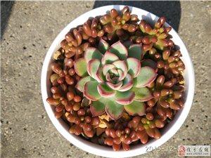 信豐縣 多肉植物 防輻射植物 美觀植物