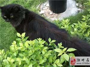 纯黑美猫开卖!灰色大围脖尊贵优雅!