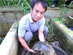 批发娃娃鱼80元一斤