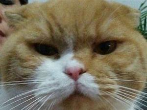 是一只英国短毛折耳猫,公猫,非常可爱,要交配的找我
