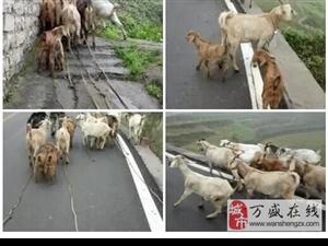 萬盛區萬東鎮五和村窯罐廠放養山羊出售