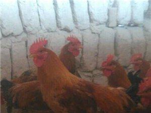 生态土鸡,物美价廉,绿色美味!
