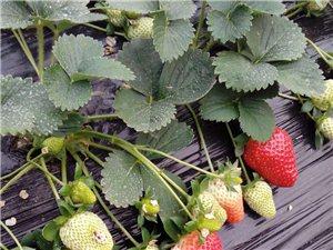 南唐乡河云村的天然无公害草莓熟了!