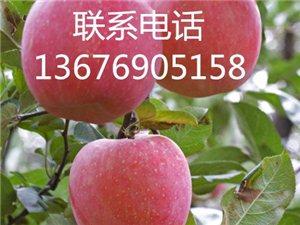 富士蘋果產地直銷