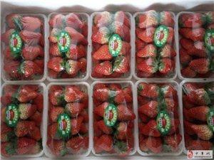 草莓園直接采摘送達