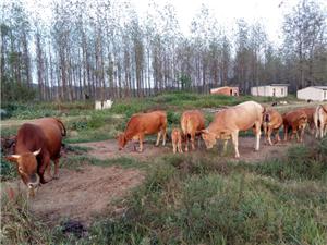 纯天然吃草的土黄牛出售