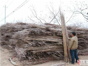 現有大量竹子對外出售