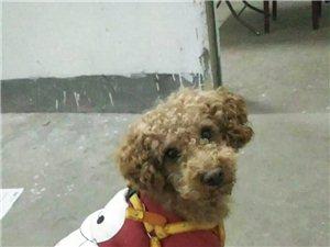 2岁泰迪狗丢失