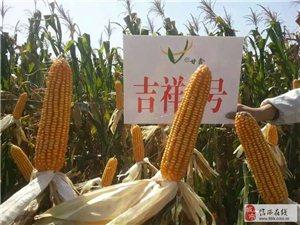 制種基地特供玉米種