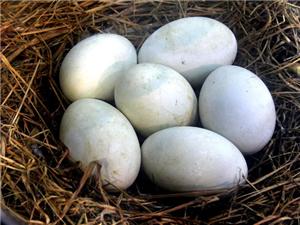 自己家养的大鹅跟鹅蛋出售
