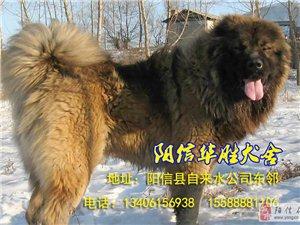 �信�h�A�偃�舍,高加索犬及阿拉斯加犬培育基地