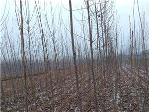 大量出售优质107杨树苗、大理石柱