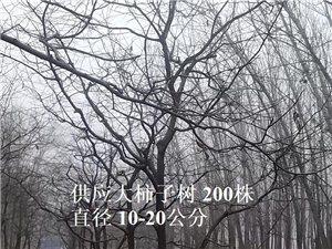 出售大柿子树 高唐赵寨子 大柿子树米径10-20公