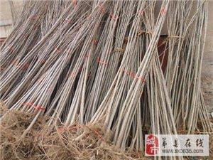 出售杨树苗 速生杨品种有107、46、 高唐赵寨子