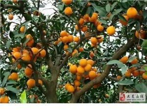正宗奉节脐橙