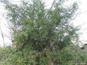 大量红豆杉出售
