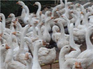 长期大量出售大鹅 种蛋