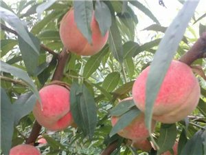 供應優質桃樹苗,歡迎前來實地考察定苗