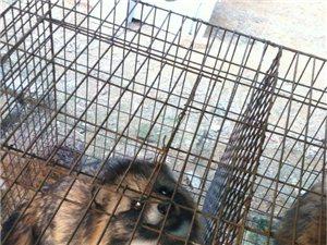 大型狐狸水貂养殖厂高价大量收购:残鸡残鸭做饲料