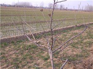 四年苹果树15元一颗