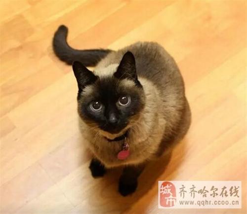 暹罗猫品种图解图片
