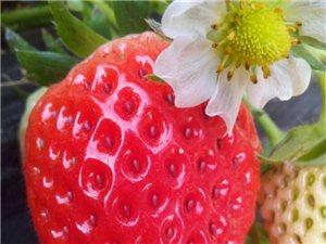 香蕉奶莓采摘园