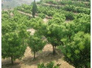 雙季槐米樹廠家為你服務楊軍苗木專業合作社大量供應新