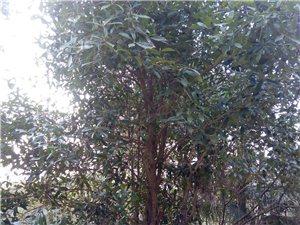 农田种植十年以上棕树、水杉、章树、桂花树和竹子林等