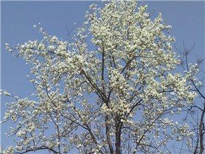 出售30年树龄望春花