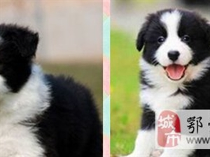本地犬舍-出售边境牧羊犬-最聪明的狗狗-包健康
