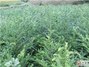 大量供應紅豆杉苗